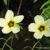 Turnera subulata or White Alder