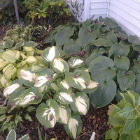 Favorite large hosta cluster