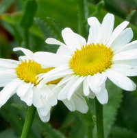 Marguerite and her sister ..