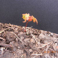 Mother Nature was kind enough to leave me this Japanese Maple seedling.One of 2 I have found so far.