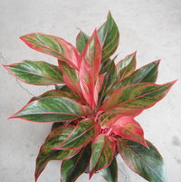 Here's an Aglaonema commutata 'Red Edge' that I scored from a very popular Mart.