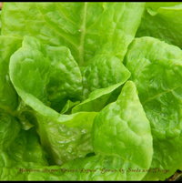 Heirloom Butter Crunch Lettuce grown at Seeds and Things.com