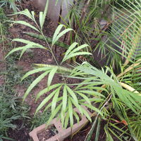 Cycas deboensis living happily in the greenhouse