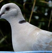 Barbary Dove detail