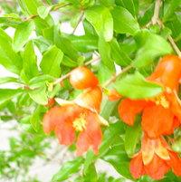 Pomgranate in bloom.