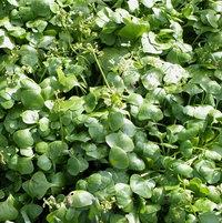 Miner's Lettuce (Claytonia Perfoliata)