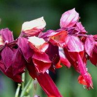 Sage (Salvia)