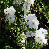 Pearl Bush 'The Bride' (Exochorda x macrantha)