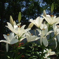White lilies for love and hope