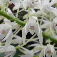 A multitude of blooms appear on the spikes of this variety of Dendrobium speciosum.