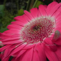 Pink Gerbera daisy with white halo.