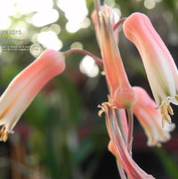 These Aloe flowers have visual similarities to some Gasteria, indicating a relationship between the two genera.