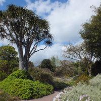 Giant Aloe Tree (Aloidendron barberae)
