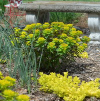 In spring this euphorbia 'Bonfire' matched the yellow of the Creeping Jenny beautifully