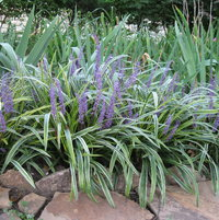 By September the liriope border is blooming to enhance the annual display