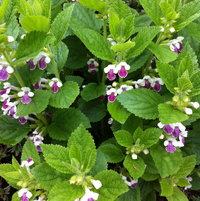 Melittis 'Royal Velvet'  great mint family relative that's worth internet hunting for