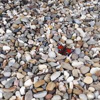 Peacock basking on the gravel pebbles