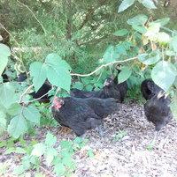 Poison Ivy & Chickens