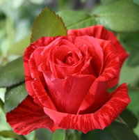 red intuition rose.