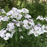 Phlox 'Blue Flame' in back garden