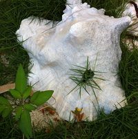 Eleuthera conch shell and Bahamian grass