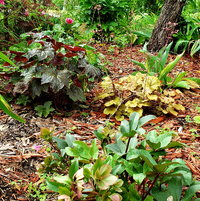 Lenten Rose, Heucheras