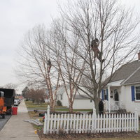 In january 2012 I had a professional arborist company with real certified arborists prune my two Heritage river Birch and one Red Maple.