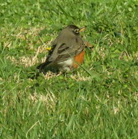 American Robin (Turdus migratorius) ... one of many who have arrived ....