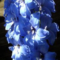 Delphinium species