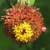 Zinnia seed head - visited and enjoyed by Goldfinches..