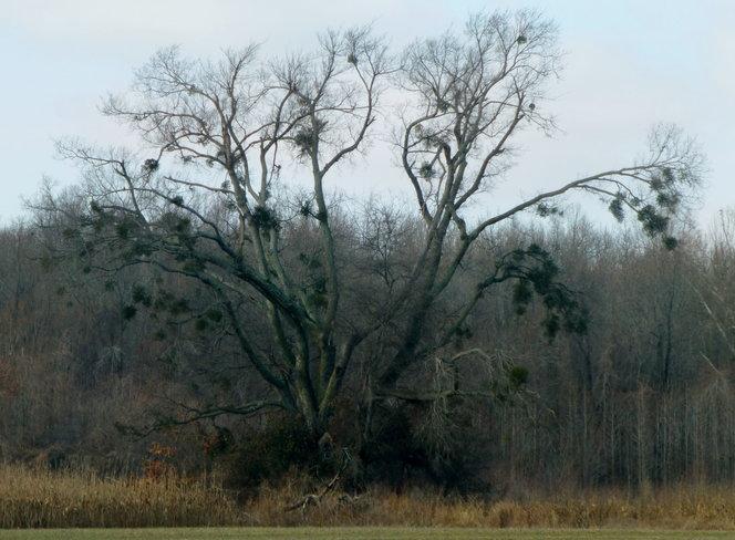 TREE FULL OF MISTLETOE