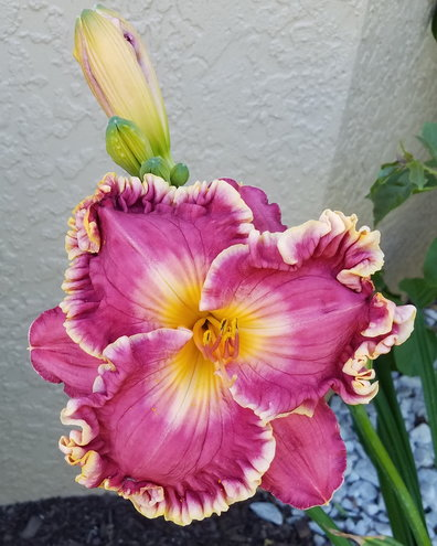 """After seeing very few daylilies in Sarasota county and North Port, I was told by gardeners that they did not grow well here. I took a chance and tried some evergreens. This is """"Like Wildfire"""" 2013 by Hansen, D."""