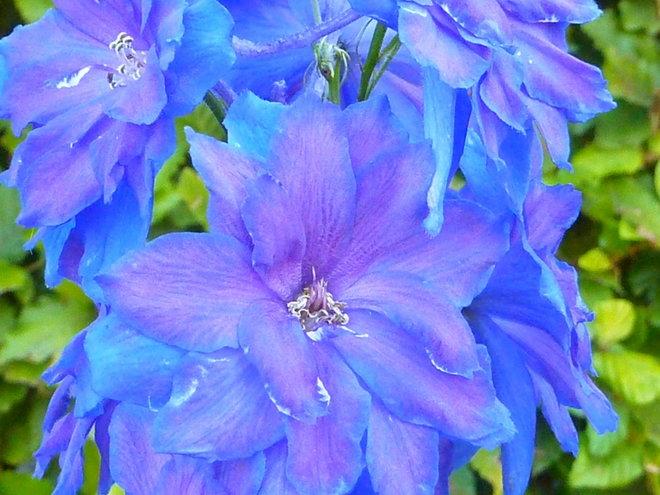 Delphinium elatum 'Blue Lace'