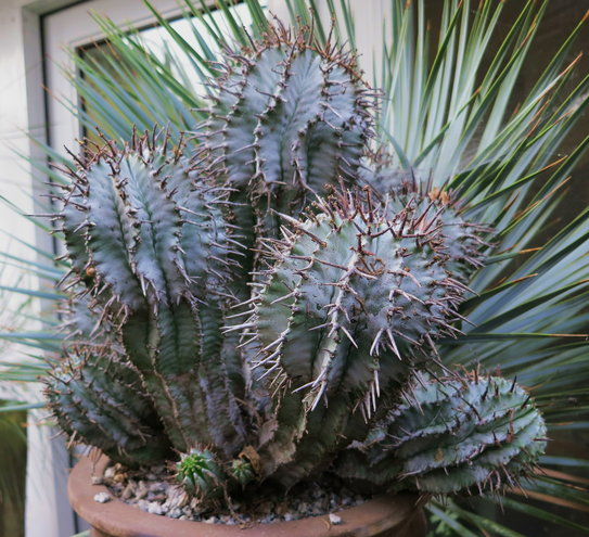 Euphorbia wundulate, a nice, easy E horrida hybrid