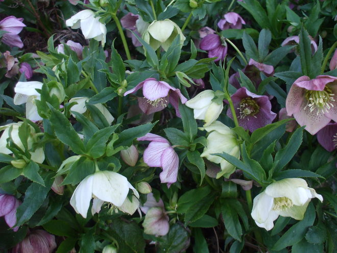 Lenten roses in the woodland garden