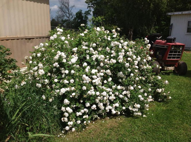 Old white rose bush loaded down and drooping over