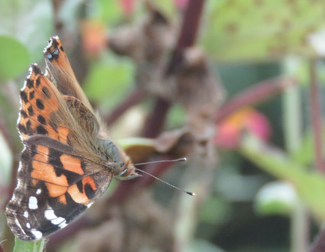 Painted Lady butterflies were numerous across North Carolina this year ..