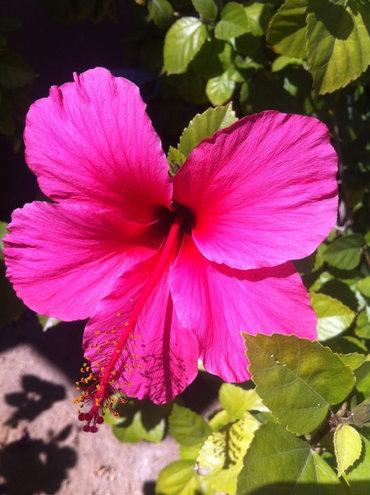 Pink lipstick hibiscus
