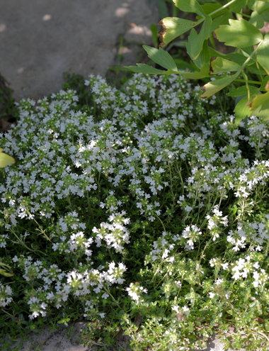 6.20.13 Thymus praecox 'Albiflorus' in bloom in my herb garden.
