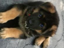 Blitz Puppy